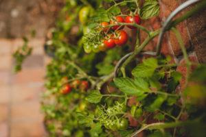 tomaten wachsen an hauswand